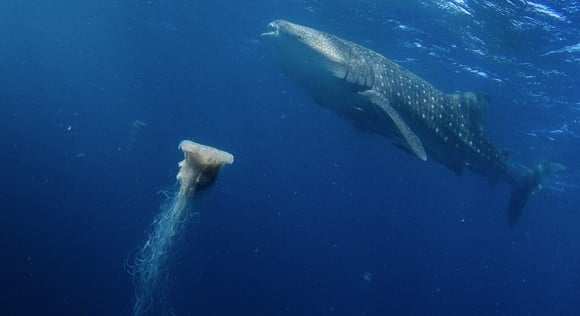Lions Mane jellyfish and whale shark