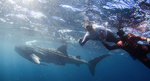 Swimming with Whale shark Exmouth