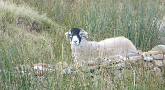 Sheep-on-Pen-y-ghent-to-Whernside