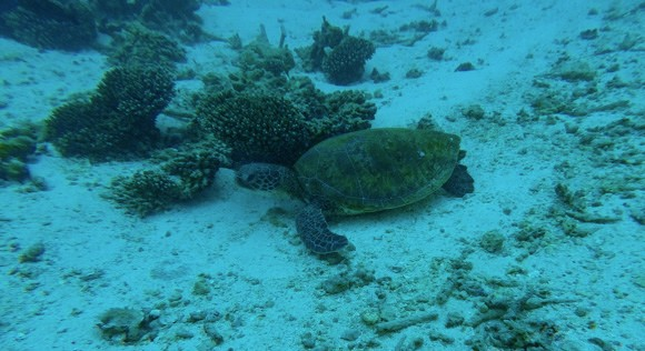 Turtle at Coral Bay