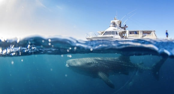 Whale shark and boat tour